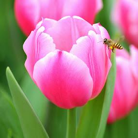 Tulip and Honey Bee by Leka Huie - Flowers Single Flower ( bee, green, tulip, pink,  )
