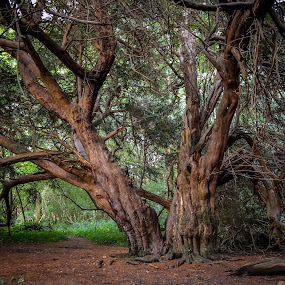 double tree by Bela Paszti - Nature Up Close Trees & Bushes ( west sussex, nature, tree, kingley vale, old tree, forest, double tree,  )