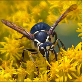 Wasp On Golden Blossoms by Joseph T Dick - Animals Insects & Spiders