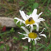 Longhorn beetle and june beetle on aster