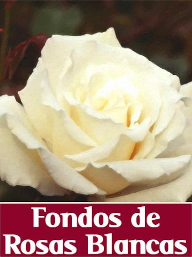 Fondos de Rosas Blancas