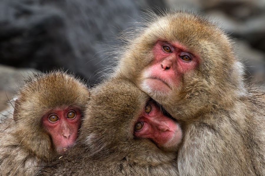 Three faces, but still one family by Gunarto Song  - Animals Other Mammals ( japan, monkeys, nature, snow, animal )