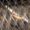 Ivory-marked Beetle