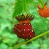 Salmon Berry