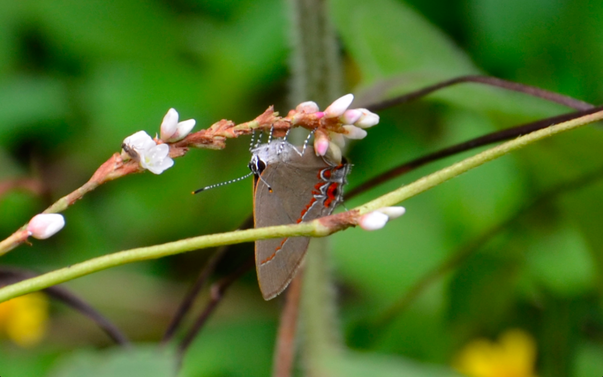 Calycopis hairstreak