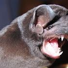 Velvety free-tailed bat