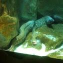 European eel -anguila