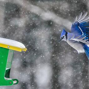 by Benoit Beauchamp - Animals Birds (  )