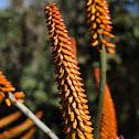 Mountain Aloe