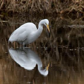 Mirror, Mirror... by April Nowling - Animals Birds ( water, bird, nature, texas, wildlife, egret,  )
