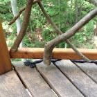 Eastern Black Rat Snake