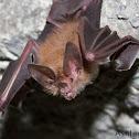 Short-tailed Bat