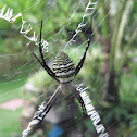 Oval St Andrew's Cross Spider