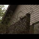 House sparow