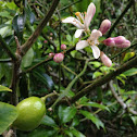 Lemon tree in flower and early fruit