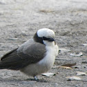 Southern White Crowned Shrike