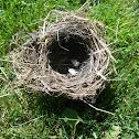 House sparrow (nest & eggs)