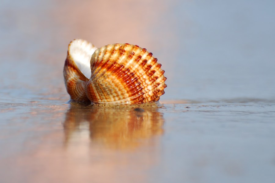 Sea shell by Ivan Marjanovic - Nature Up Close Other Natural Objects ( shell, sea,  )