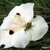 Katydid on african iris.