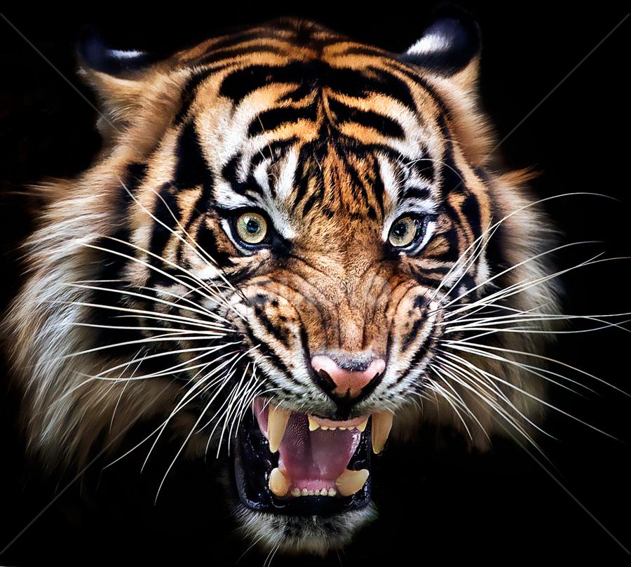 smile by Ivan Lee - Animals Lions, Tigers & Big Cats ( canon, tiger, roar, closeup,  )