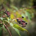 Pokeberry