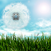 Blue Sky Dandelion HD