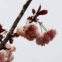 Royal Japanese Cherry tree (Blossoms)