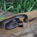 Herald Snake