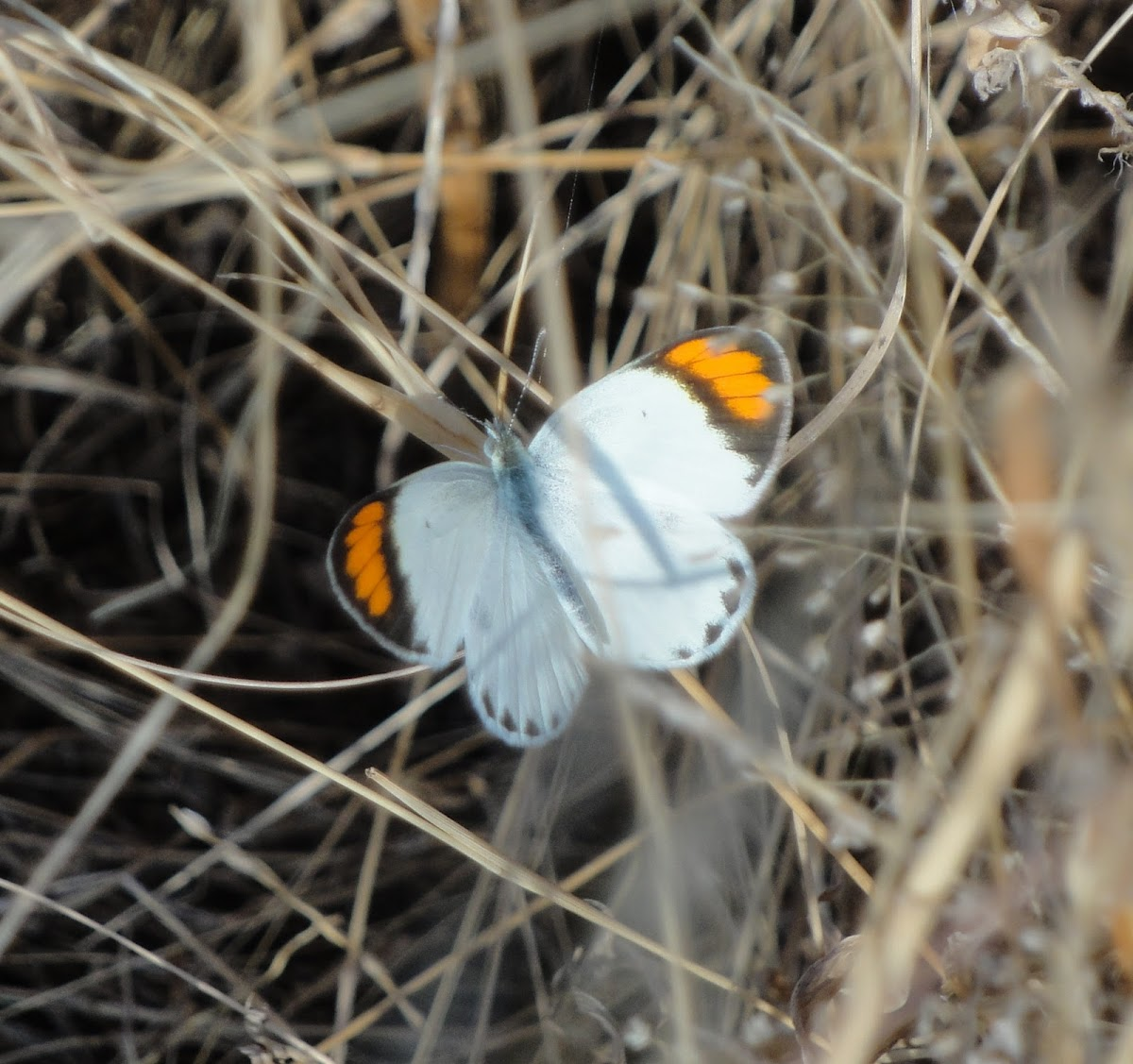 White Orange Tip