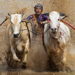 Full Speed by Teddy Winanda - Sports & Fitness Rodeo/Bull Riding ( minangkabau traditional sport, west sumatera tourism, indonesia tourism, minangkabau culture, racing cows, pacu jawi )