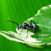 Silver Spiny Queen Ant