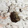 Spotted Sulphur