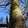 Moss/Orthotrichum epiphytic bryophyte