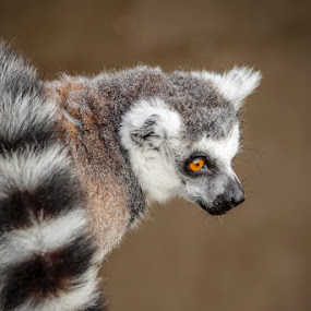 King Julian  by Phil Hanna - Animals Other Mammals ( zoo, furry, bright eyes, fur, brown, lemur, king, mammal, animal )