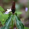 Lanceleaf Trillium