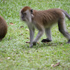 Monkey (on Penang Island)