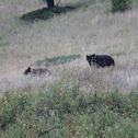 Black bear or American black bear