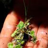 Spatulate Leaf Sundew