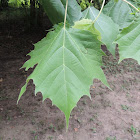 Eastern Sycamore