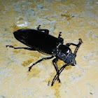 Ground beetle/Escarabajo de suelo