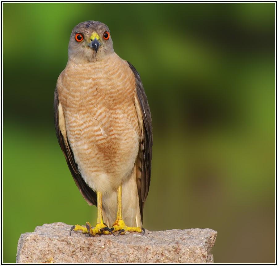 Shikra by Vigram Kumar - Animals Birds ( bird, raptors, shikra, photography, birding,  )