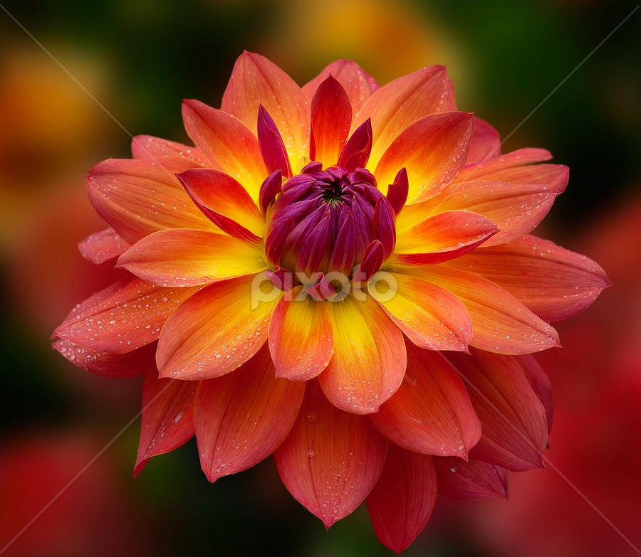 Golden dahia by Carl Sieswono Purwanto - Flowers Single Flower (  )