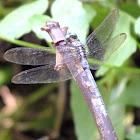 Common blue skimmer