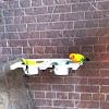 Sulphur-Breasted Parakeet