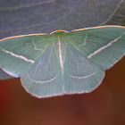 White lined emerald moth
