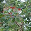 Wild Cashew Tree blooms