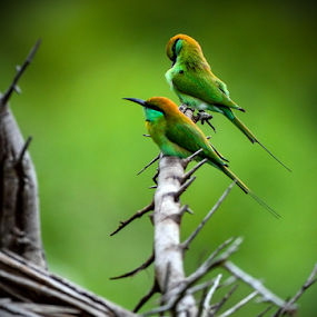 Bee Eaters by John Anthony - Animals Birds