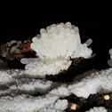 Slime mold plasmodia