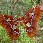 Rothschildia moth, silk moth