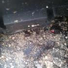 Southern Black widow spider